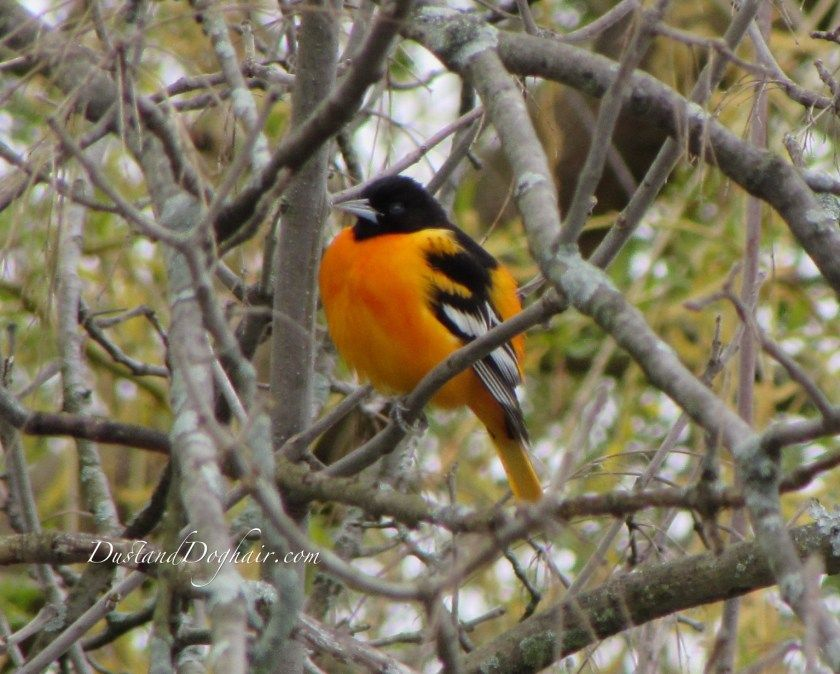 how to attract orioles with oranges