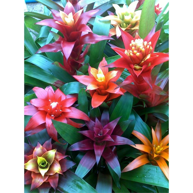 130mm Guzmania Bromeliad I/N 3615367 | Bunnings Warehouse