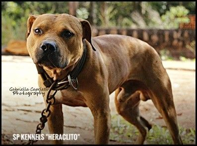 By Photo Congress || Game Bred Pitbulls For Sale Near Me