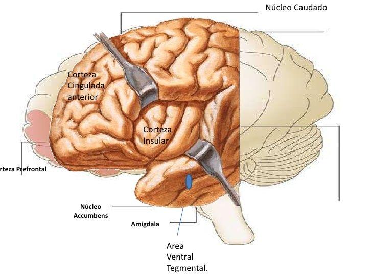 Resultado de imagen de right ventral lateral prefrontal cortex ...