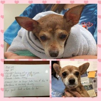 14 Year Old Chi Abandoned At Shelter Door Hope You Ll Find A Foster For Her Pet Carriers Little Dogs Fur Babies