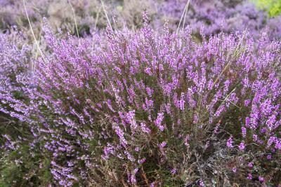 What Is The Meaning Of The Heather Flower Heather Flower Heather Plant Flowers