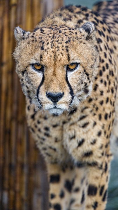 The Latest Iphone11 Iphone11 Pro Iphone 11 Pro Max Mobile Phone Hd Wallpapers Free Download Cheetah Pred Cheetah Wallpaper Big Cats Wallpaper Free Download