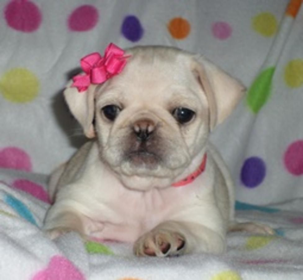Cute White Pug Puppy Puppies Pug Puppies Cute Animals