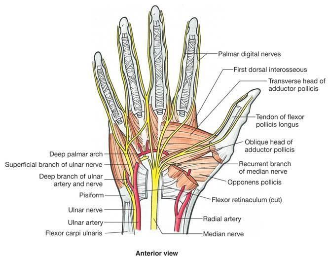 Median Nerve And Ulnar Nerve Distribution Forearm Pinterest