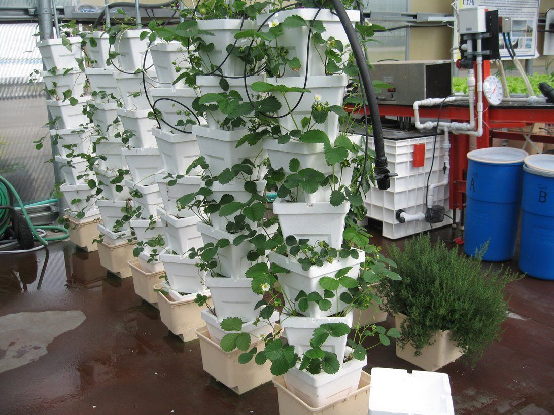 Hydroponic stackers on bato buckets with strawberries hydroponics pinterest - Hydroponic container gardening ...