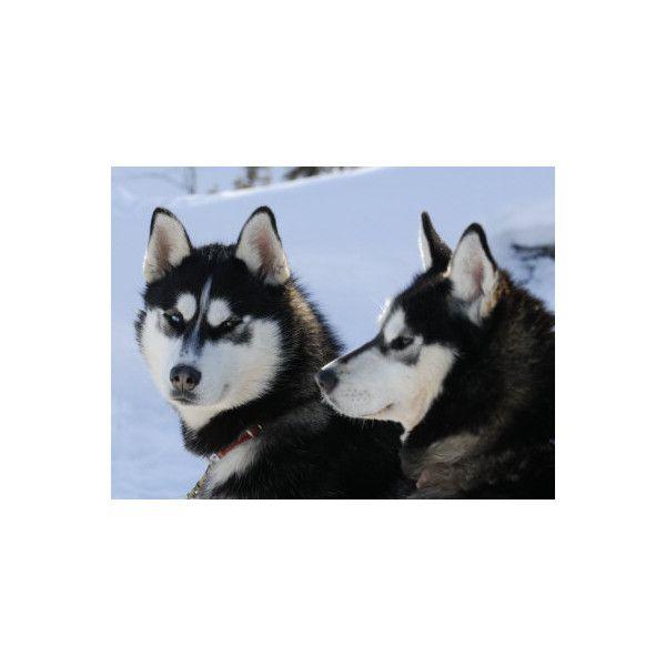 Siberian Husky Sled Dogs Pair In Snow Northwest Territories