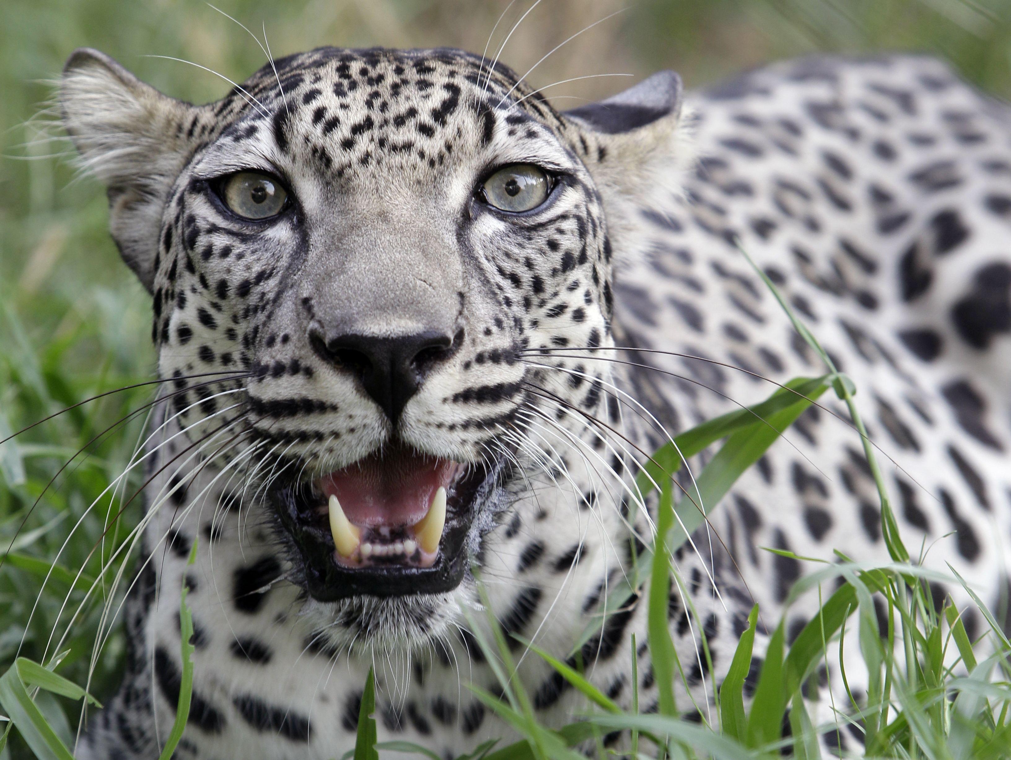 Arabian leopard (Panthera pardus nimr) //Genus Panthera pardus ...