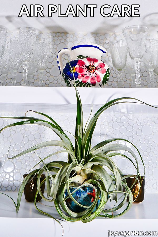How to Care for Air Plants in A Dry Climate in 2020 Air