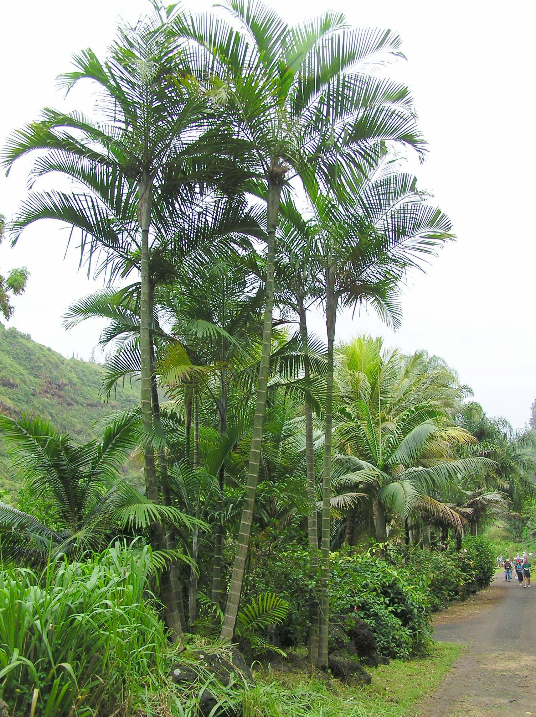 Dypsis Cabadae Hawaii