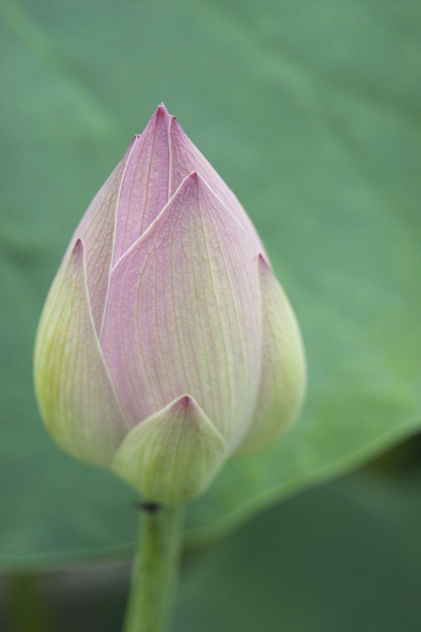Closedlotusflowerjpgg 8521280 Pixels Louts Flower
