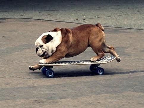 English bull dog skateboarder Animals, English bull