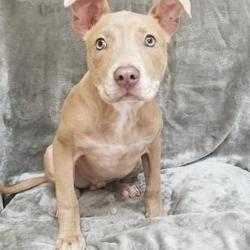 Tampa, Florida - American Staffordshire Terrier. Meet Zeus ...