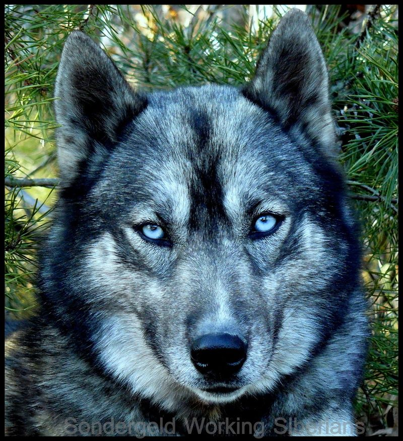 A dirty-faced, agouti Siberian Husky from Sondergeld Working Siberians   Tumblr