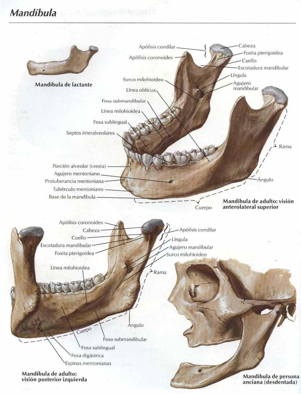 Atooms Fotos Mandíbula Anatomia Dos Ossos Crânio Anatomia Anatomia Corpo Humano