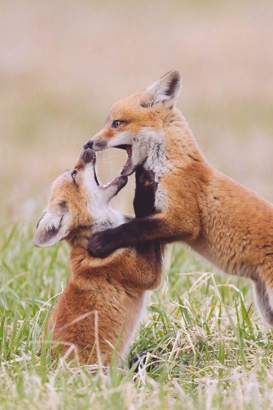 Red Fox Cubs by Jeff VanKuik