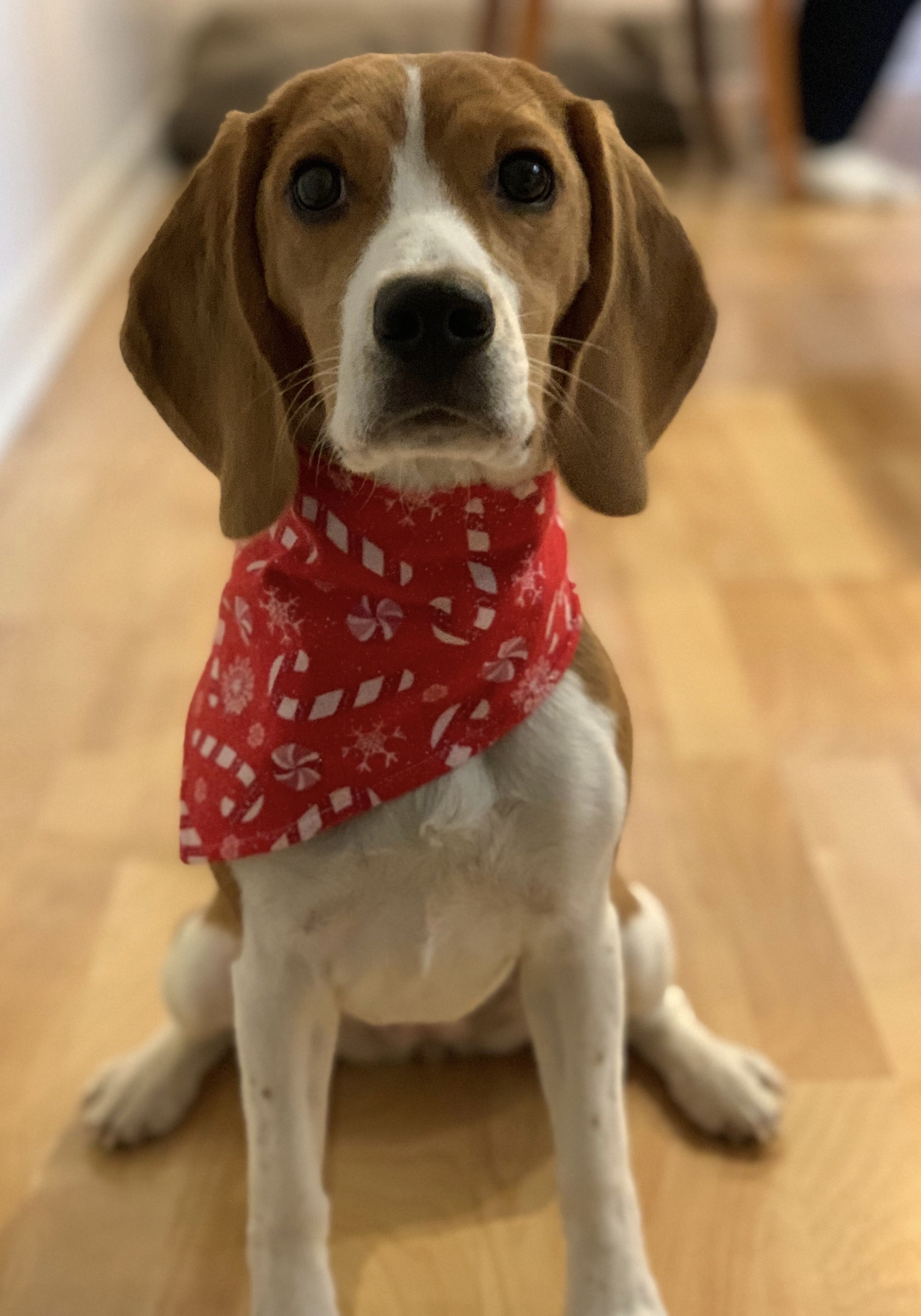 Beagle Dog Breed Information Beagle Dog Breed Beagle Beagle Puppy
