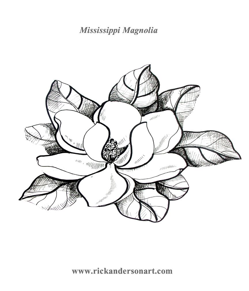 magnolia tree drawing ms magnolia coloring page jpg