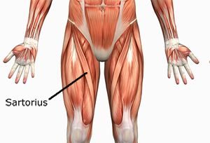 sartorius muscle - google search | anatomy and physiology 1 - pta, Human Body