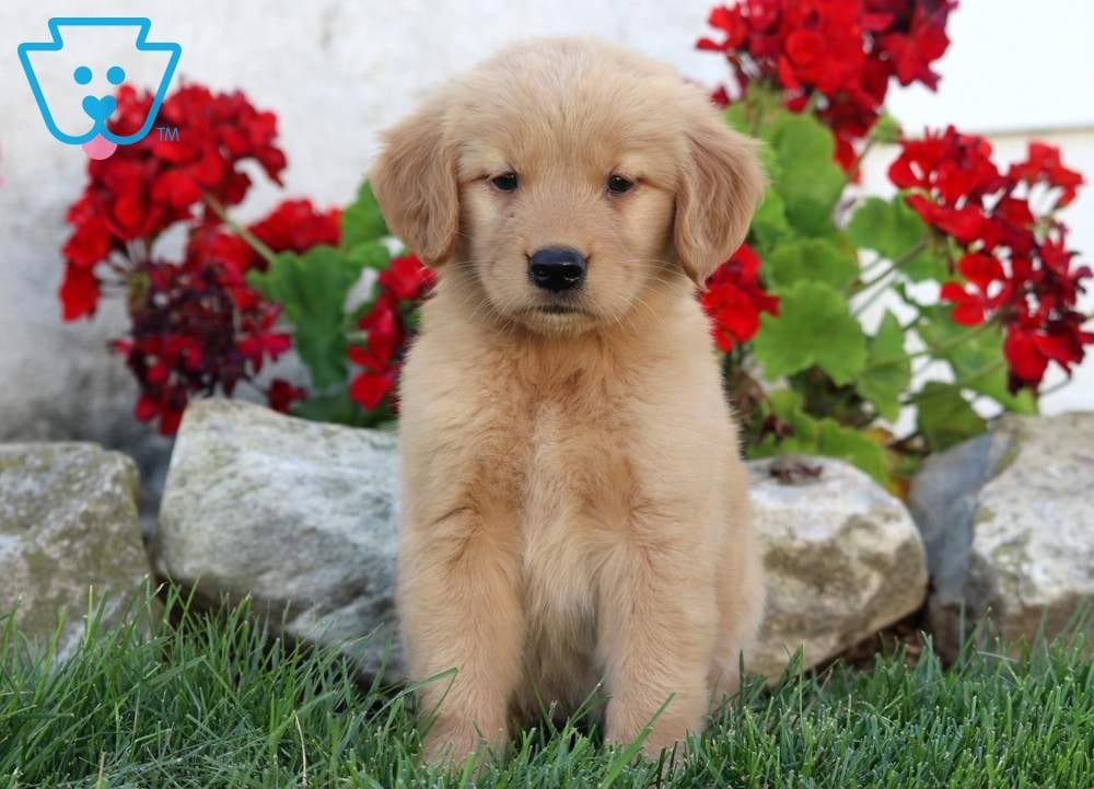 Mya Golden Retriever Puppy For Sale Keystone Puppies
