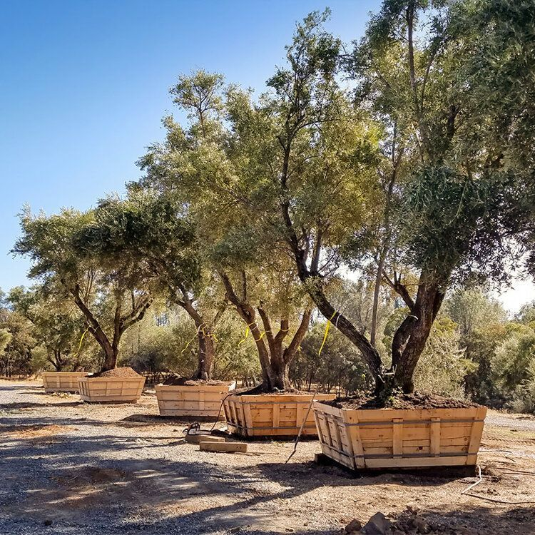 Large Olive Trees for Sale in California (530) 5248780