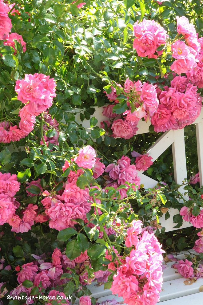 English Country Garden Pretty Rambling Rose Growing Through The