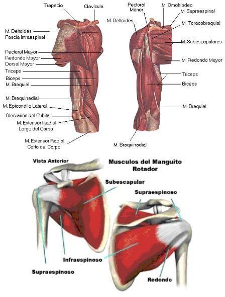 Musculos del hombro | Sistema muscular | Anatomia | Pinterest ...