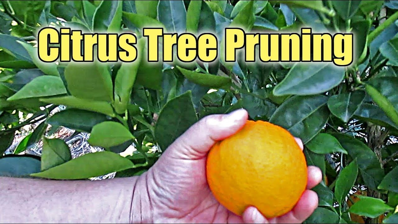 Citrus Tree Pruning What Are Water Sprouts And Why You Should Remove Them Youtube Citrus Trees Tree Pruning What Is Water