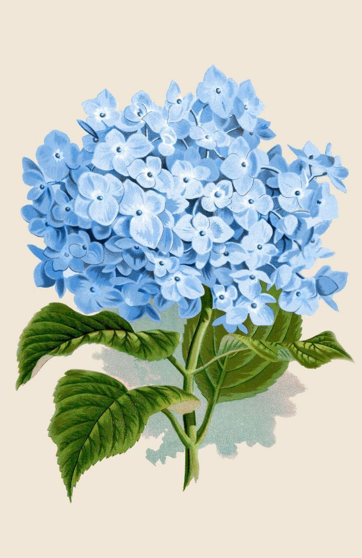 Instant Art Printable Download Blue Hydrangea Botanical Blue Hydrangea Flowers Vintage Botanical Prints Flower Drawing