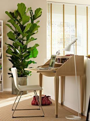 Geigenfeige (Ficus lyrata) Home - Living room Pinterest - pflanzen dekoration wohnzimmer