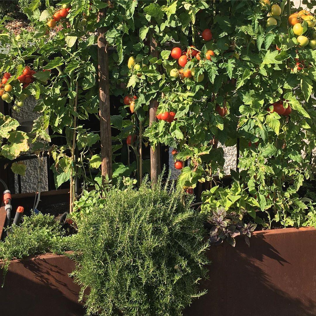 Die Tomaten In Meinem Hochbeet Werden Zunehmend Reif Hochbeet Hochbeetliebe Hochbeete Tomaten Krauterbeet Krautergarten K Krauterbeet Garten Hochbeet