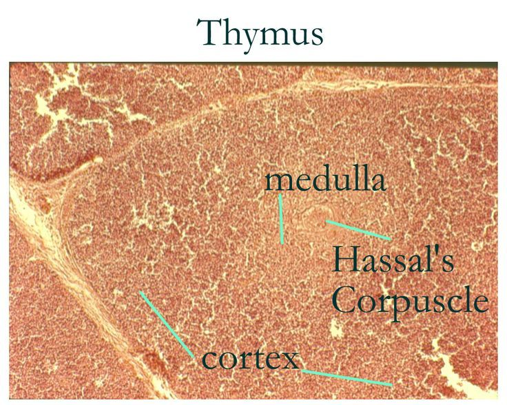 thymus gland histology labeled | Histology: Thymus | { Histology ...