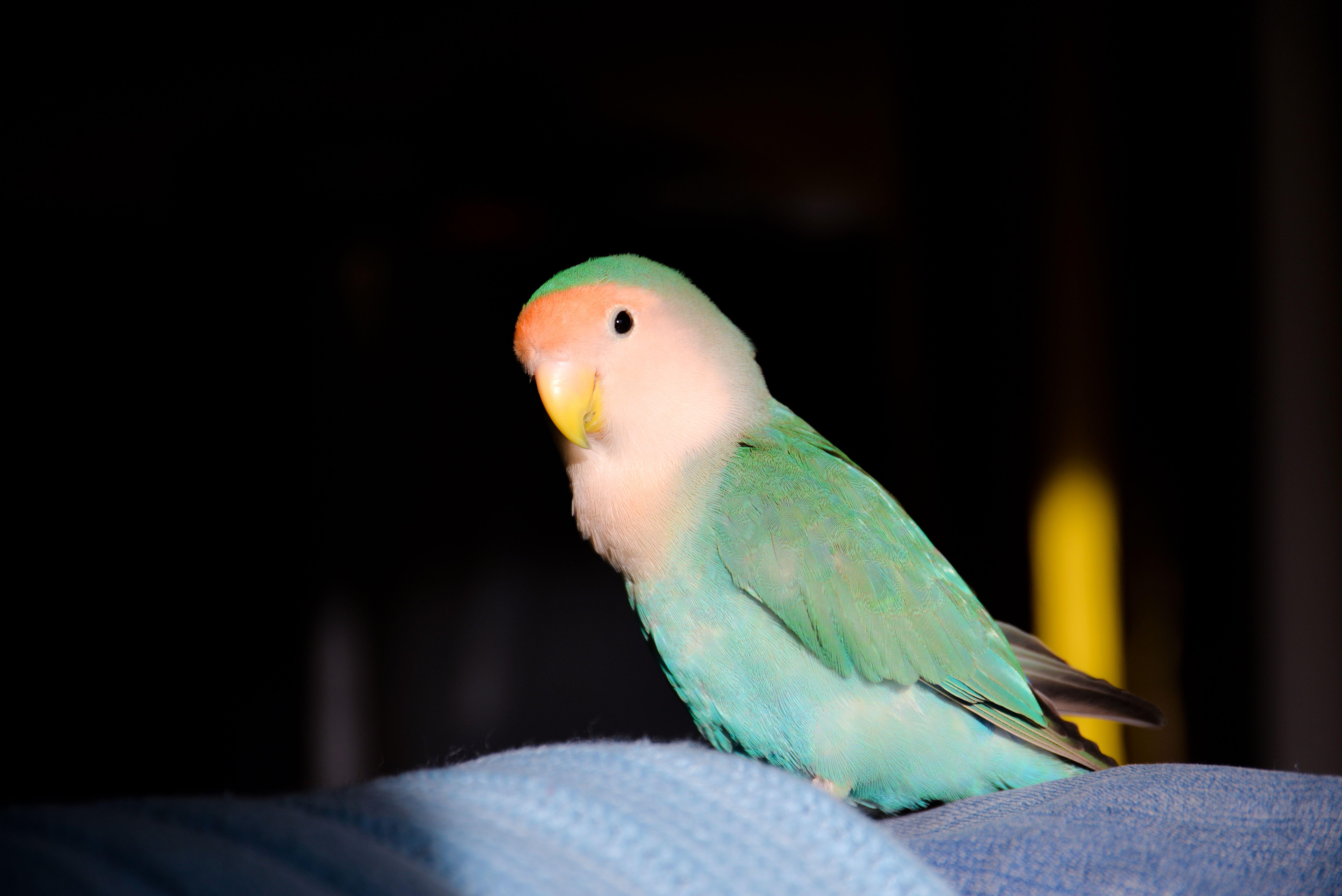 Lovebirds Blue Peach Faced Love Birds Cute Baby Animals Pet Birds