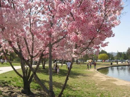 Pink Cloud Cherry Tree California Cherry Blossom Blossom Cherry Tree