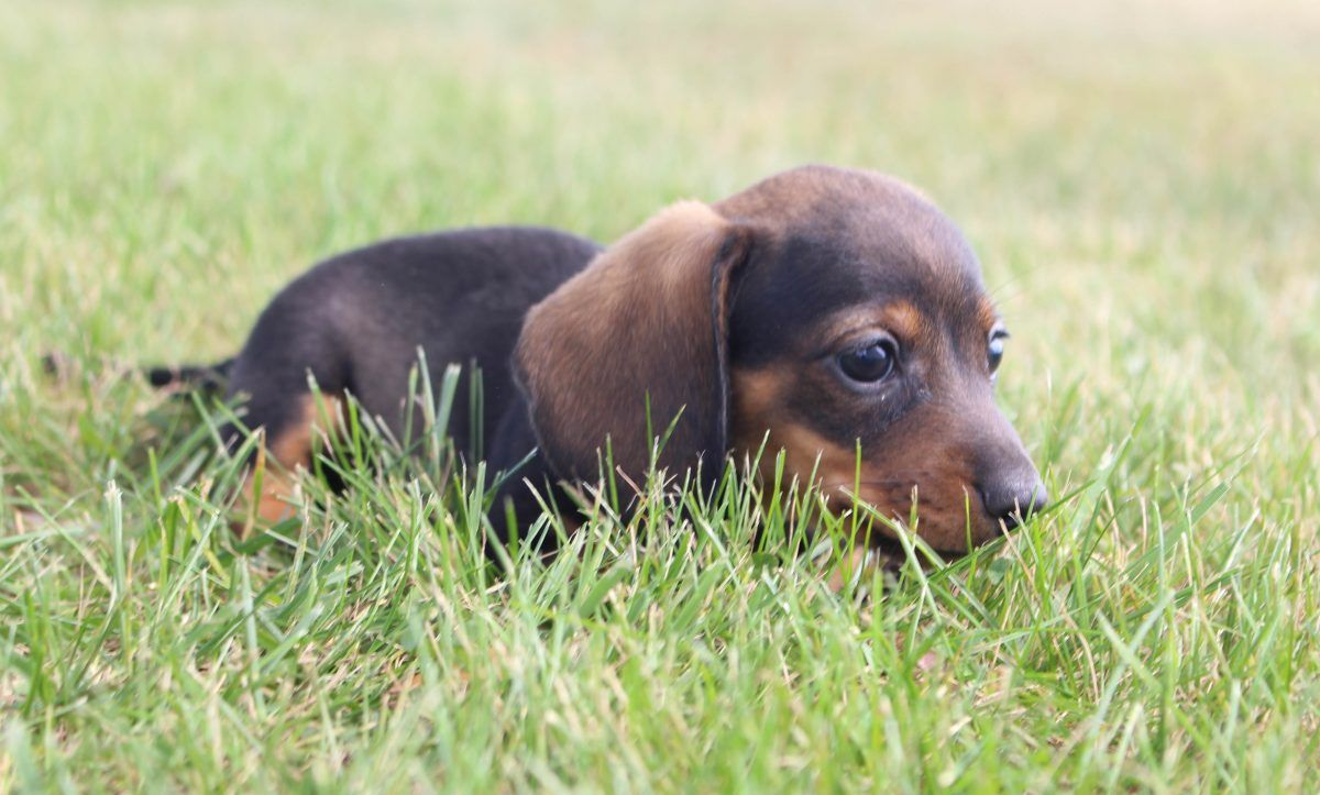 Dwan Puppy Akc Dachshunds For Sale In Shipshewana Indiana