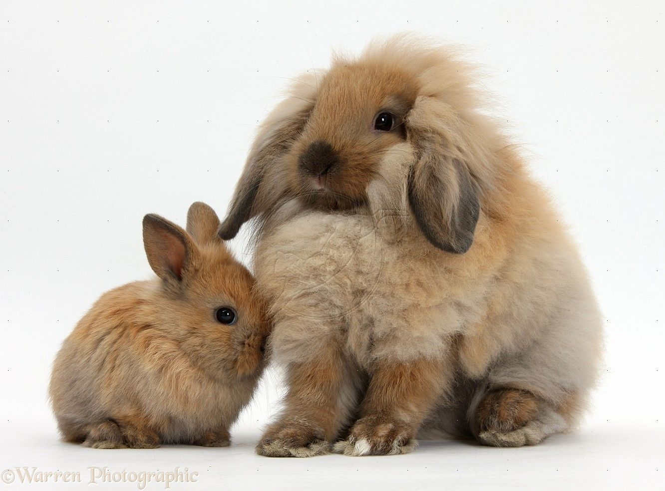 Cute Baby Bunnies | Fluffy Lionhead Lop Rabbit And Cute ... - photo#13