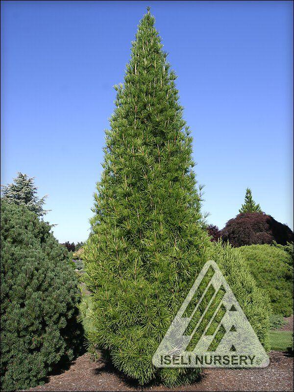Joey Kozey Japanese Umbrella Pine At Maturity The Slow Growing