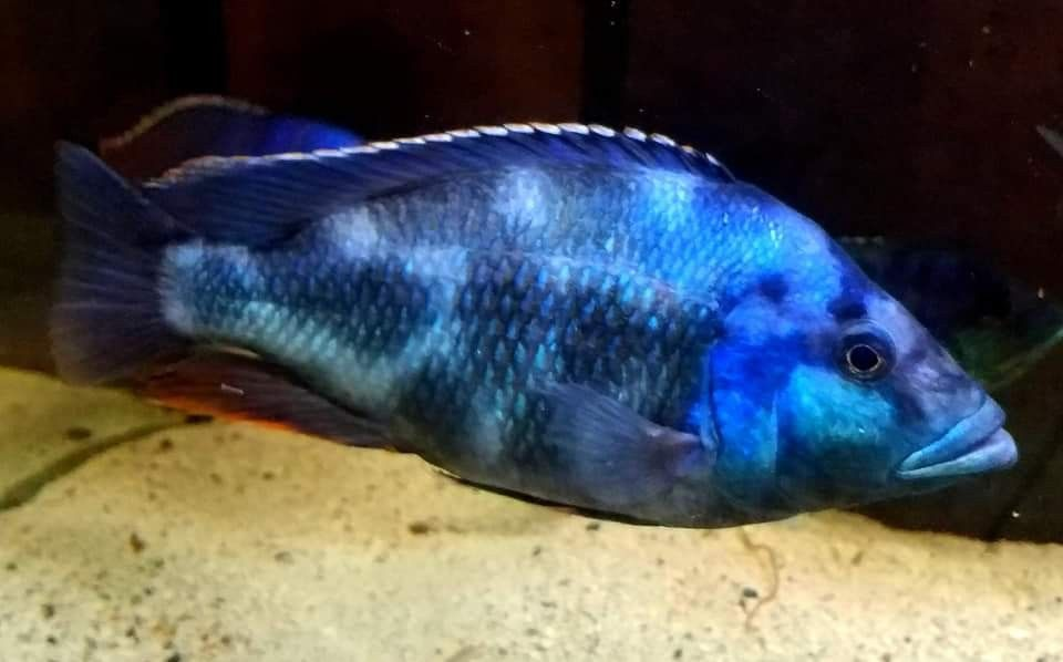 A Great Nimbochromis Livinstoni Specimen Interesting Enough My Red Stonii Bred From A Red Empress Male And Female Livinstoni African Cichlids Cichlids Fish
