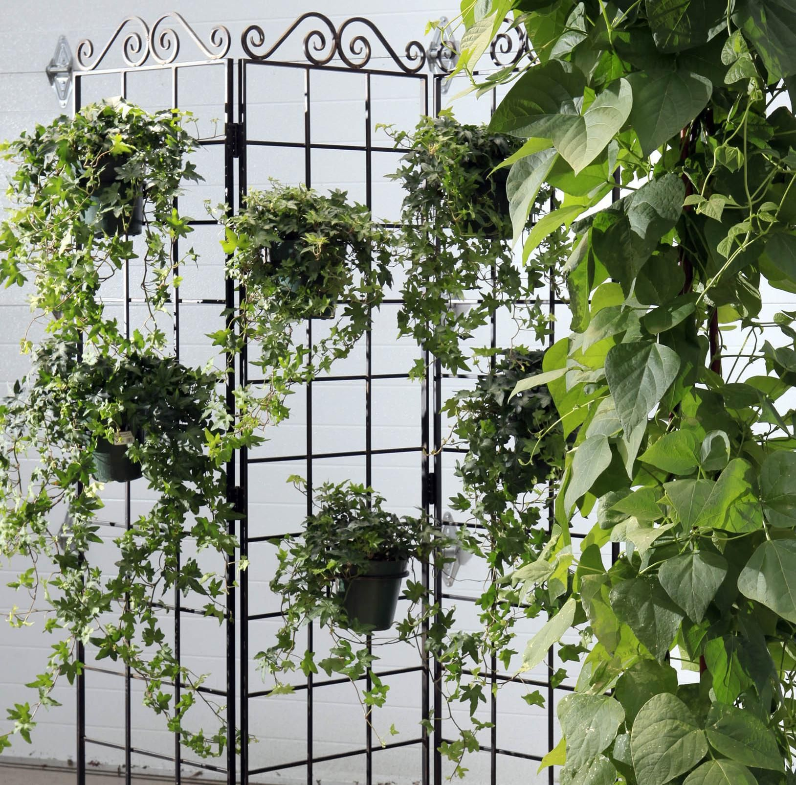 Ivy Hill Apartments: How Do You Grow English Ivy Indoors?