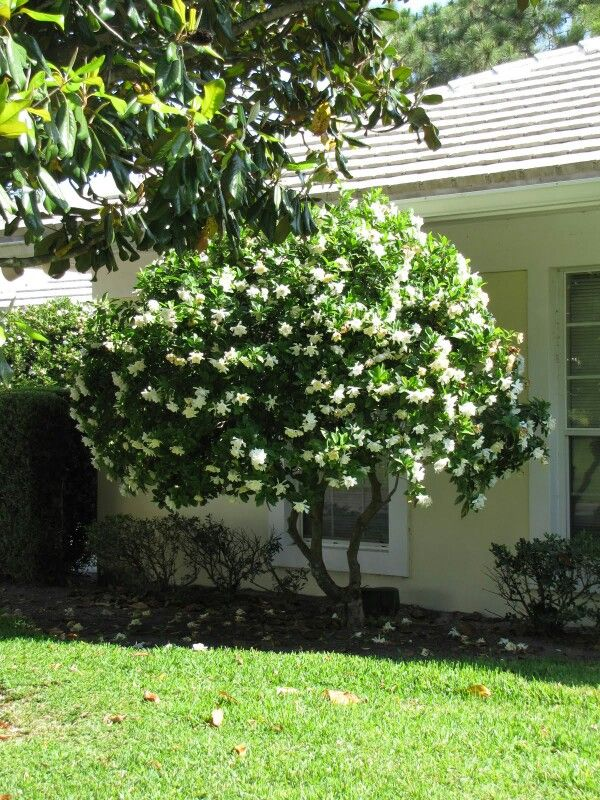 Gardenia Tree Mine Is In A Huge Pot And It Is Beautiful The Smell Is Unbelievable Gardenia Trees Amazing Gardens Summer Flowers Garden
