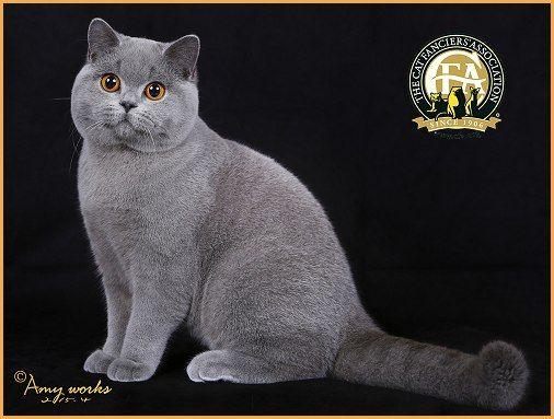 13th Best Kitten Nw Teddy Cat Hugo Blue British Shorthair
