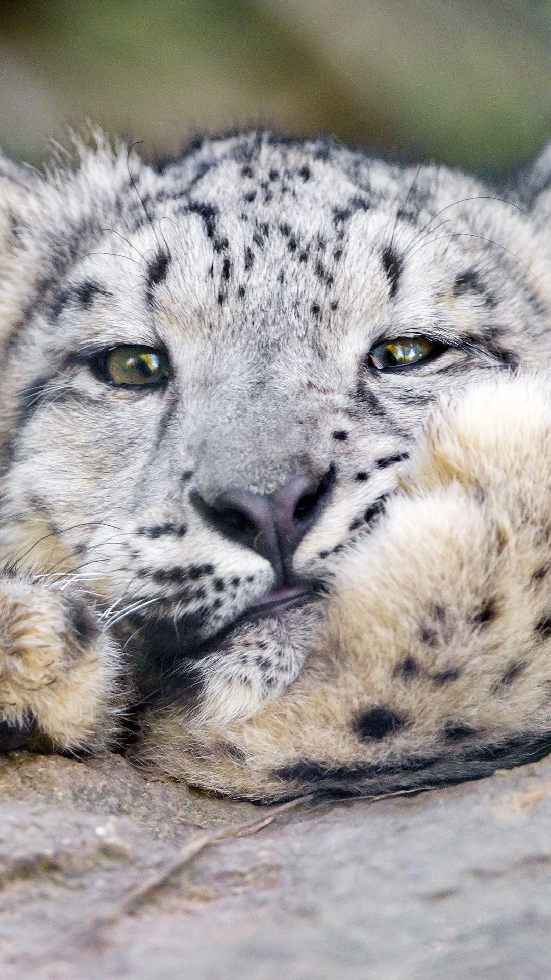 Leopard Snow Leopard Big Cat Animals Wallpaper Lockscreen Mobile Android Ios Infinitywallpaper Snow Leopard Big Cats Snow Leopard Wallpaper