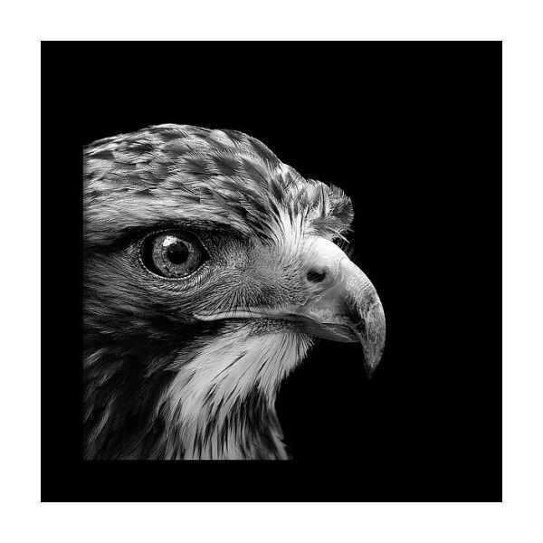 Photo of Portrait Of Common Buzzard In Black And White Framed Print by Lukas Holas