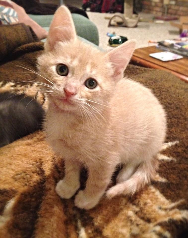 Scout Is A Handsome 8 Week Old Kitten From Sundae S Litter He Is A Buff Tan Color With Gorgeous White Markings And White Socks He S Play Kitten Kittens Petco