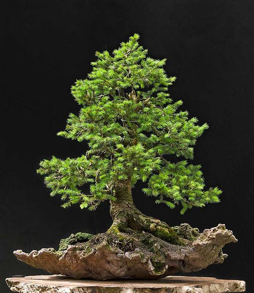 pin by jonathan keeling on bonsai pinterest bonsai bonsai baum and baum. Black Bedroom Furniture Sets. Home Design Ideas