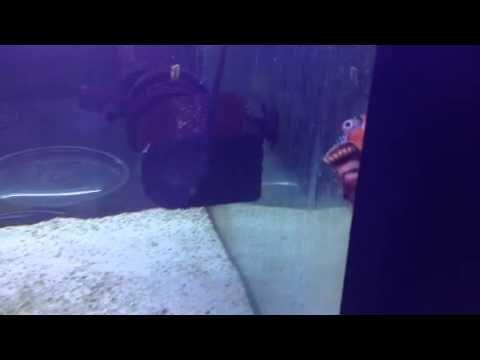 Fumanchu lionfish eating a feeder fish