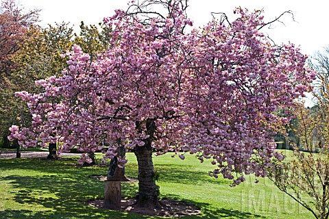 Prunus Pink Perfection Jenny Lilly Ornamental Trees Prunus Tree