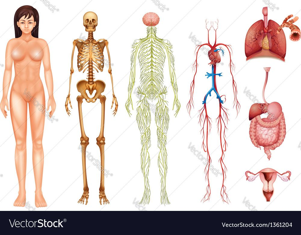 Httpscdnctorstocki1000x10001204human Body Systems
