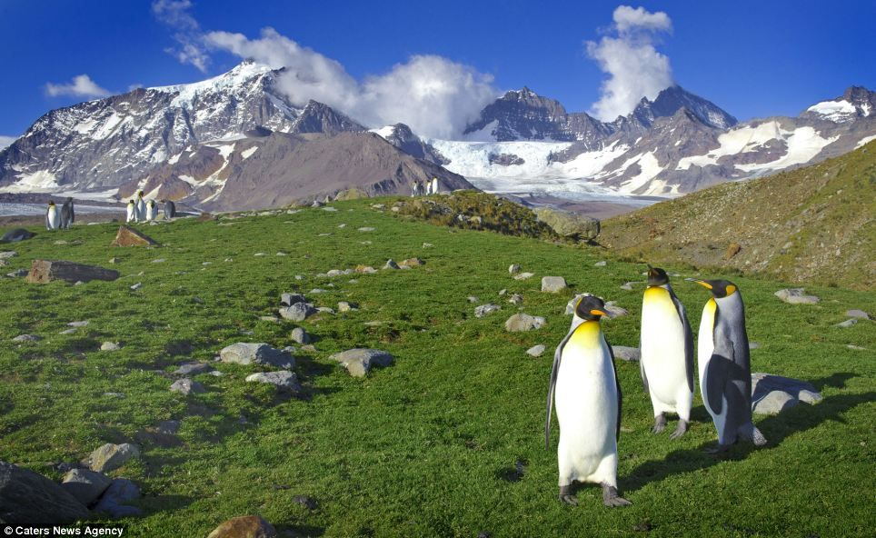 Pictures taken on the islands of South Georgia, a well-known breeding colony for royal penguins, show around 200,000 of the birds that were taken by photographer Sergey Kokinskiy, lacking the usual backdrop of snow.