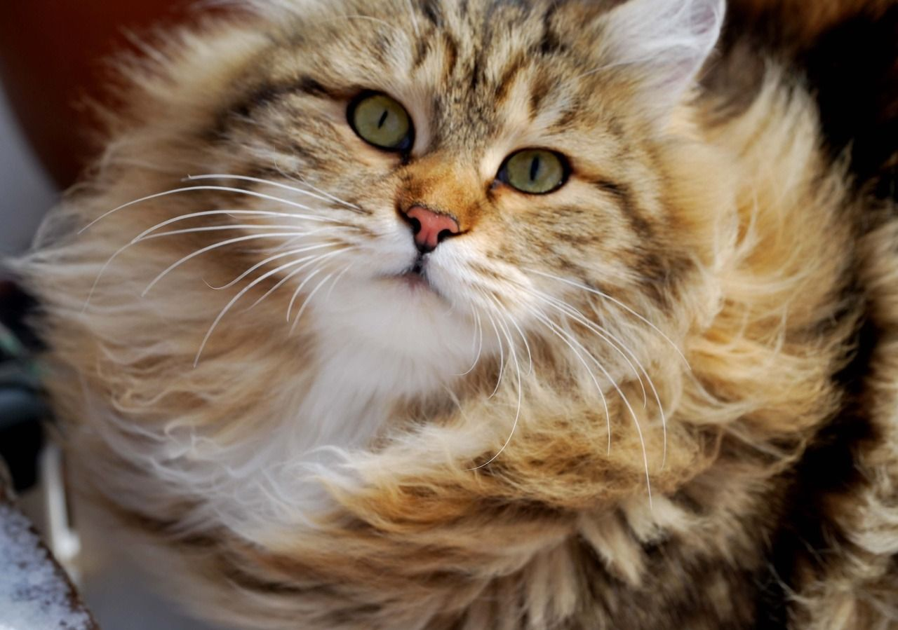 Pin by Erin VanderZanden on animals Siberian cat